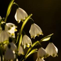 fruehlingsblumen_35A0218